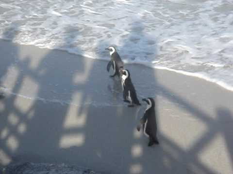 Penguins at Boulder's Beach, Simonstown, South Africa