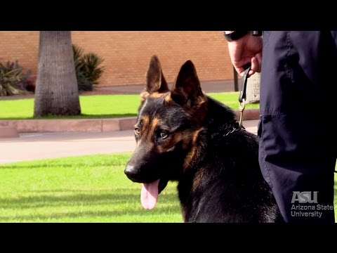 Meet Tillman, the new ASU Police dog