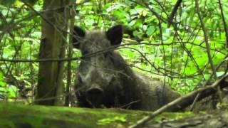 Dziki  / Wild boars (Sus scrofa)