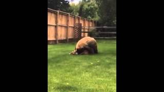 bear attacks deer in family backyard