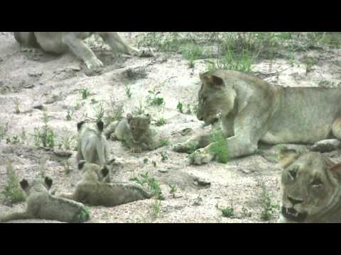 Evening Encounter:  Lion Pride with newborn cubs