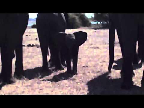 Allattamento cucciolo  di elefante safari South Africa