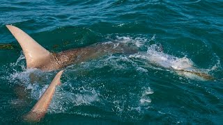 Catching Hammerhead Sharks with Saltwater Experience