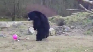 These Three Bears Playing With a Pink Balloon Will Make Your Friday