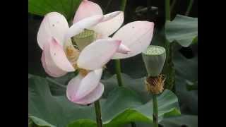 유월의 연꽃