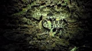 Rattlesnake Rattling
