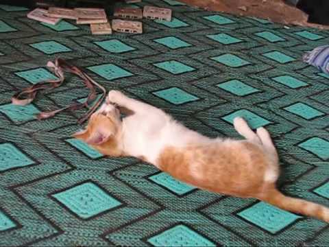 Un-pur-chat-marocain