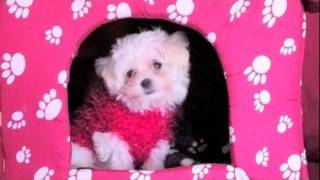 Bichon Maltes  - Mini Toy - Trailer Cheríe -