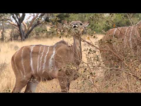 Kudu Antelope at Kruger National Park, South Africa