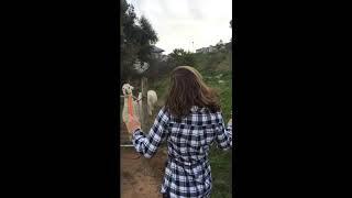 Funny Alpaca spits at Girl