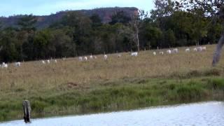 Sons do entardecer no campo, O canto do Jaó, , Pecuária de corte,