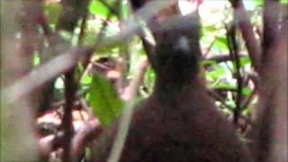 caçadores de imagens  Inhambu-Guaçu irritado