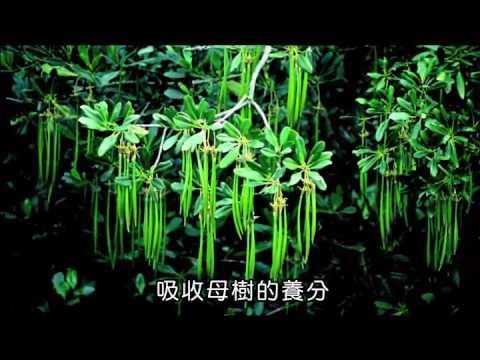 國小_自然_水筆仔【翰林出版_五上_第二單元 植物的奧祕】 - YouTube