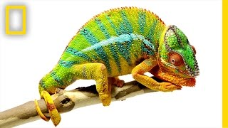 Learn more about the chameleons of Madagascar!