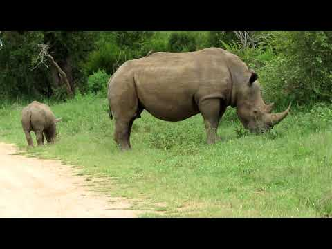 Rhino and baby 2012 557.MOV