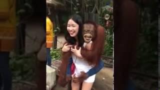 人与动物,聪明的猩猩亲吻美女。
