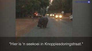 Kyk: Seekoei loop straataf in Lephalale