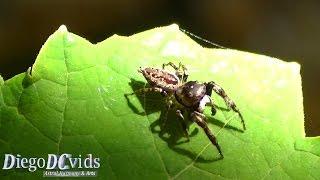 Brazilian jumping spider species (Salticidae) araña, Aranha saltadora