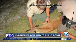 Key deer euthanized after being found tied up in car trunk
