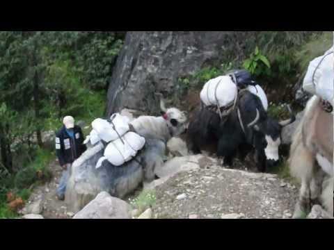 Walking in the footsteps of yaks