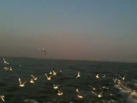 Flying Seagulls in Saint Martin