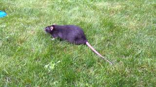 A fat rat on the grass