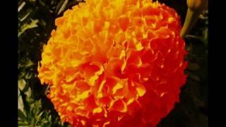 JOSE (ZECA)  AFONSO - Quanto é doce - Homenagem às mães