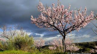 Amendoeiras em Flor - Seixas, Vila Nova de Foz Côa
