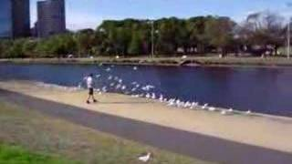 Seagulls along the Yarra River