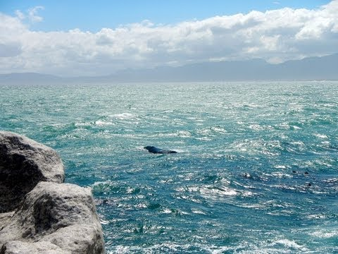 Southern Right Whale watching in South Africa