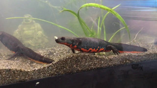How to Build a Fire Belly Newt Tank!!! width=