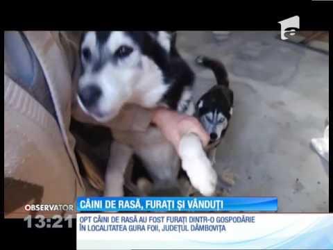Câini de rasă, furaţi şi vânduţi