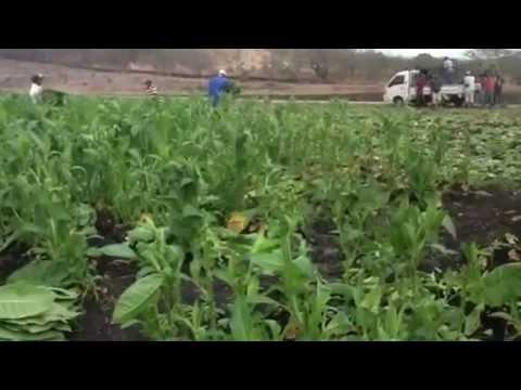 Nicaragua Trip Part 14: The AJ Fernandez Farm in Action