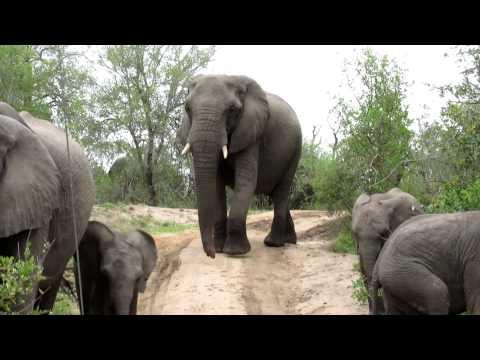 Elephants Mala Mala November 2011