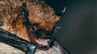 Morcegos- Gruta do Zambujal