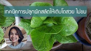 ปลูกผักในกระถาง EP.12 เทคนิคการปลูกผักสลัดให้เติบโตสวย ไม่ขม