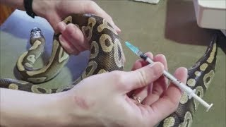 How to Treat Burned Snakes- Giving Meds and Injections