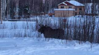Moose in my Yard, Part 2,  Legal addiction