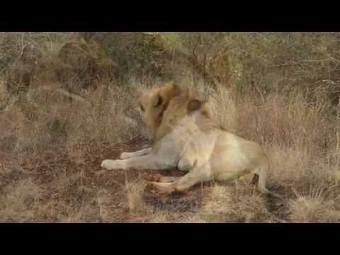 Lion roaring in the early morning – The Sights and Sounds of Thanda