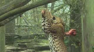 Sri Lanka panters op zoek naar de prooi | Burgers' Zoo Natuurlijk | Arnhem
