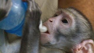 Lequinho, o bebê-macaco