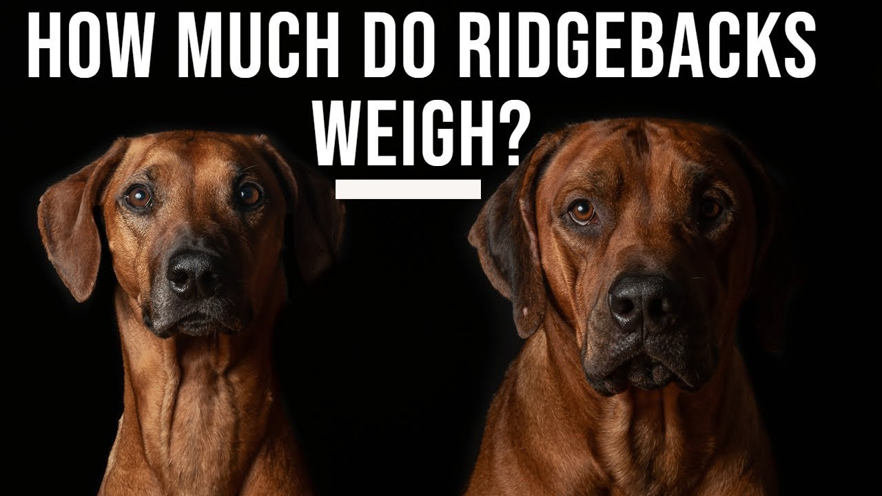 How Much Do Rhodesian Ridgebacks Weigh? Video Thumbnail