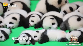 """大熊猫""""成实""""参上!是表情包界的宠儿没错了~《天天向上》 Day Day Up【湖南卫视官方频道】"""