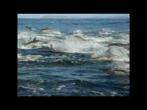 Large pod of Dolphins swimming in Plettenberg Bay, South Africa