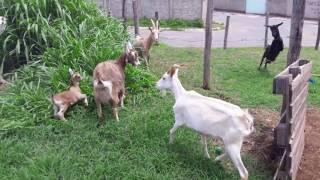 Criação de cabras e ovelhas.🐐