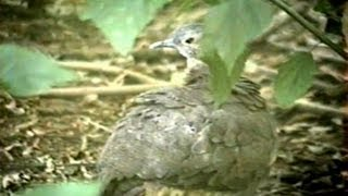 O canto do jaó,  Crypturellus undulatus, Song Undulated Tinamou, fauna brasileira, Zoo,