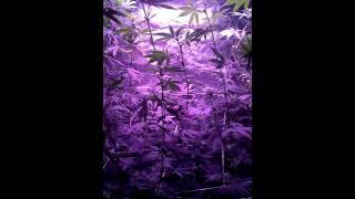 The Cannabis Dance