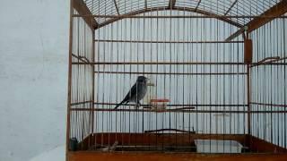 Pássaro abre-fecha cantando