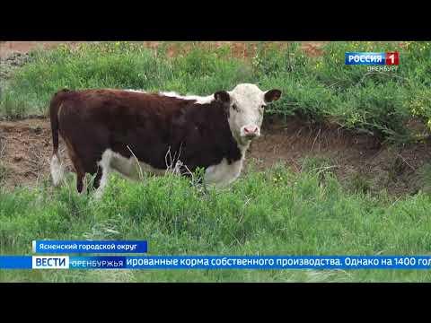 На животноводческих фермах Оренбуржья начался сезон вольного выпаса