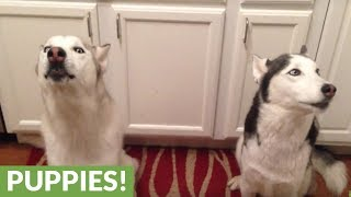 Out of tune huskies hilariously sing happy birthday song